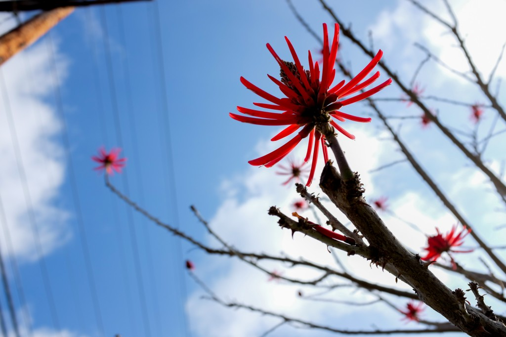 coral_tree